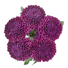 Lollipop Mums, Purple (75 stems)
