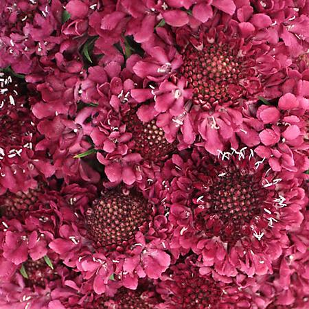 Scabiosa Scoop, Raspberry (50 stems)