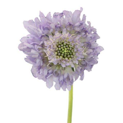Scabiosa Scoop, Lavender (50 stems)
