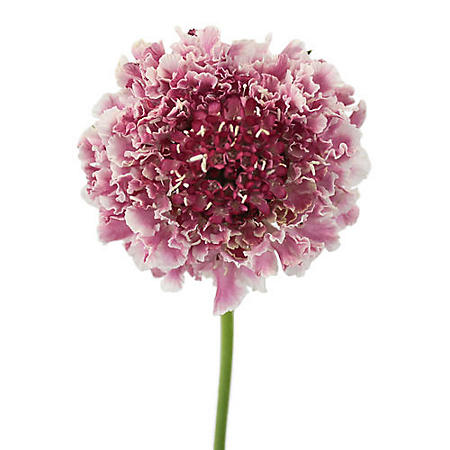 Scabiosa Scoop, Bicolored (50 stems)
