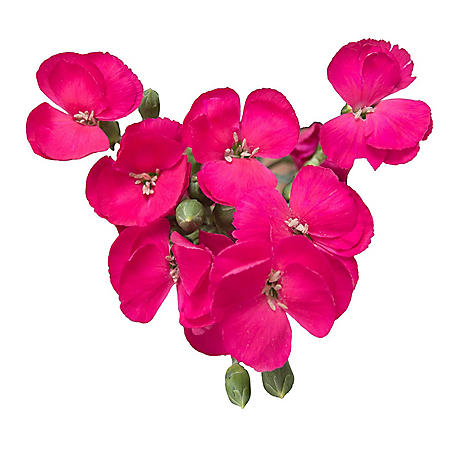 Solomio Flowers, Hot Pink (80 stems)