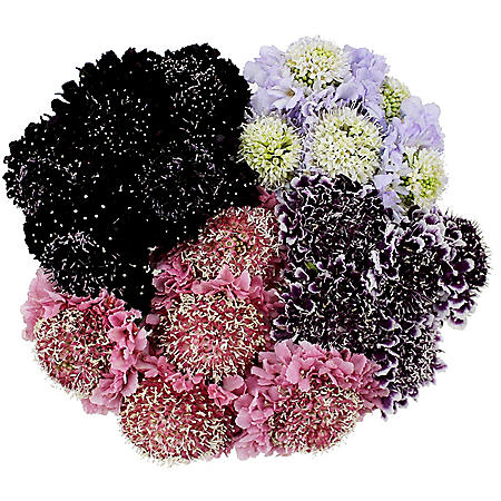 Scabiosa Scoop, Assorted Colors (50 stems)
