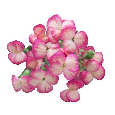 Solomio Flowers, Bicolor Pink (80 stems)