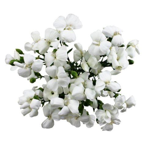 Solomio Flowers, White (80 stems)