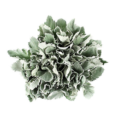 Dusty Miller (100 stems)
