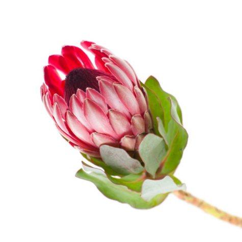 Protea, Shelia (35 stems)