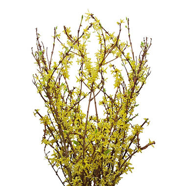 Forsythia Branches (40 stems)