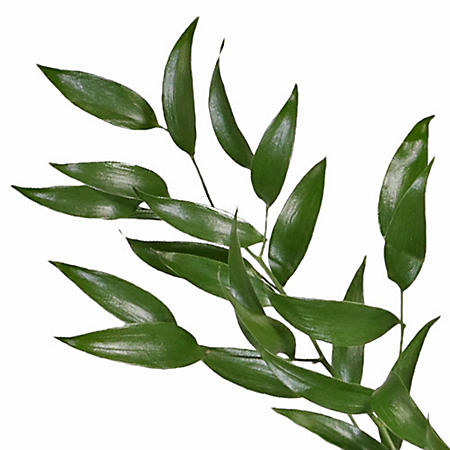 Italian Ruscus (various stem counts)
