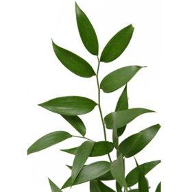 Italian Ruscus (various stem counts)
