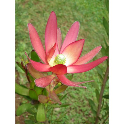 Leucadendron, Safari Sunset (various stem counts)