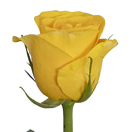 Roses, Brighton (Choose 50 or 100 stems)