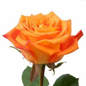 Roses, Careless Whisper (Choose 50 or 100 stems)