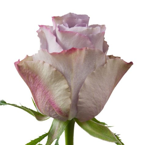 Roses, Grey Knight (Choose 50 or 100 stems)