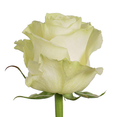 Roses, Mondial (Choose 50 or 100 stems)