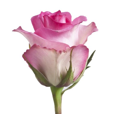 Roses, Pink (125 stems)