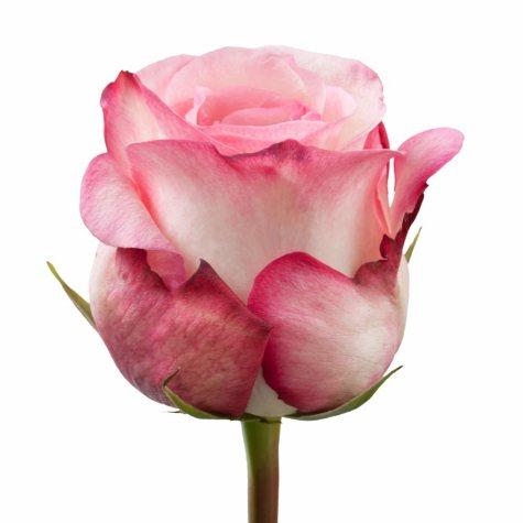 Roses, Joyce (Choose 50 or 100 stems)
