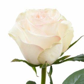 Roses, Marzipan (Choose 50 or 100 stems)