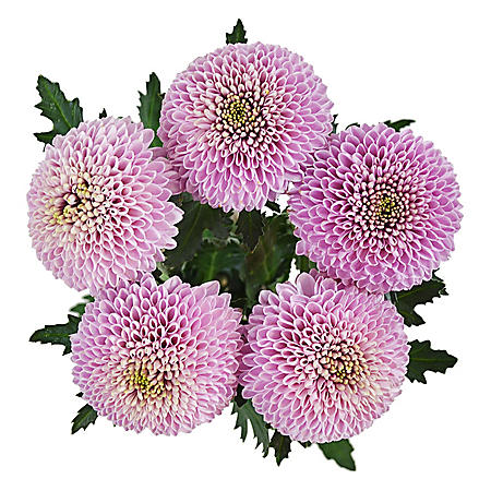 Lollipop Mums, Pink (75 stems)