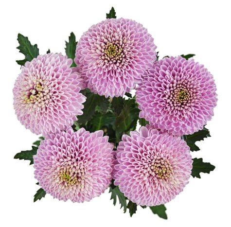 Lollipop Mums, Pink (75 stems)