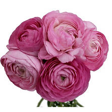 Ranunculous, Pink (60 Stems)