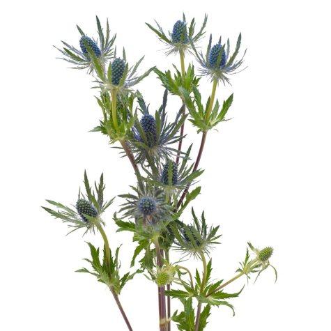Eryngium, Blue Lagoon (Choose 50 or 90 stems)