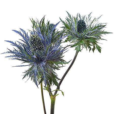 Eryngium, Deep Blue Jackpot (Choose 50 or 90 stems)
