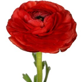 Ranunculus, Red (Choose 140 or 300 stems)