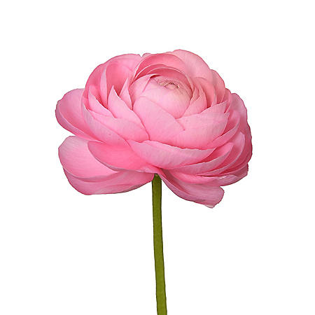 Ranunculus, Pink (choose stem count)