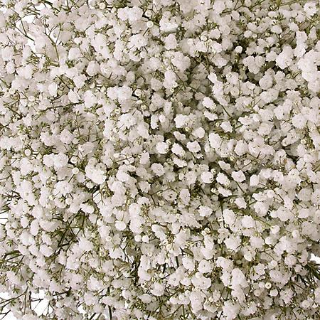 Gypsophila 'Baby's Breath', Snowball (5 or 10 bunches)