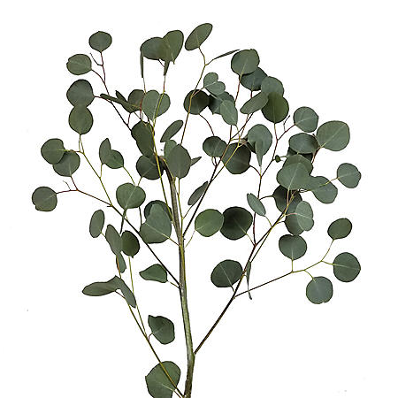 Silver Dollar Eucalyptus (40 stems)