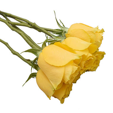 Do It Yourself Wired Roses Yellow 50 Or 100 Stems Sam S Club