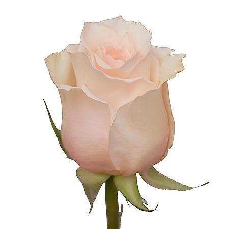 Roses, Favorite (50 or 100 stems)