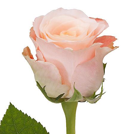 Roses, Shimmer (50 or 100 stems)