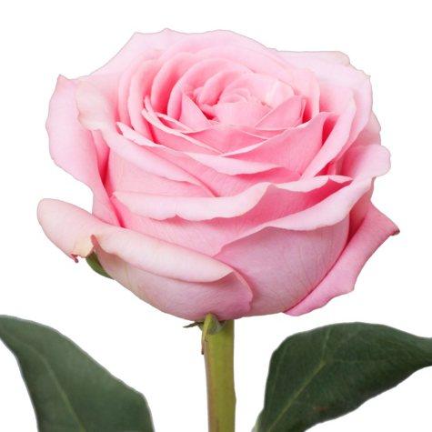 Roses, Saga (50 or 100 stems)