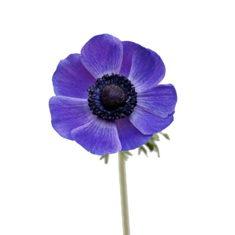 Anemones, Blue (choose stem count)