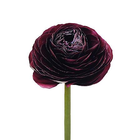 4d9cbbc9721 Ranunculus, Burgundy (choose stem count) - Sam's Club