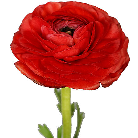 Ranunculus, Red (choose stem count)