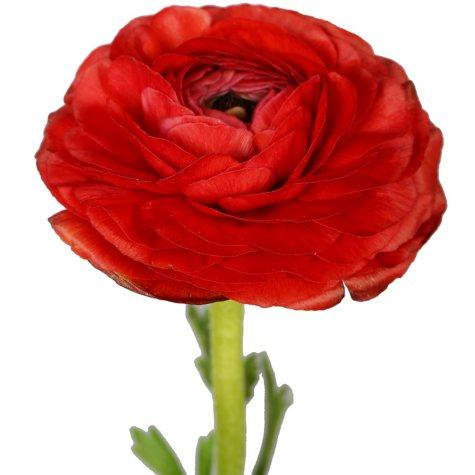Ranunculus, Red (choose stem count)
