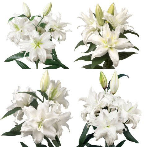 Rose Lily, White (30 or 50 stems)