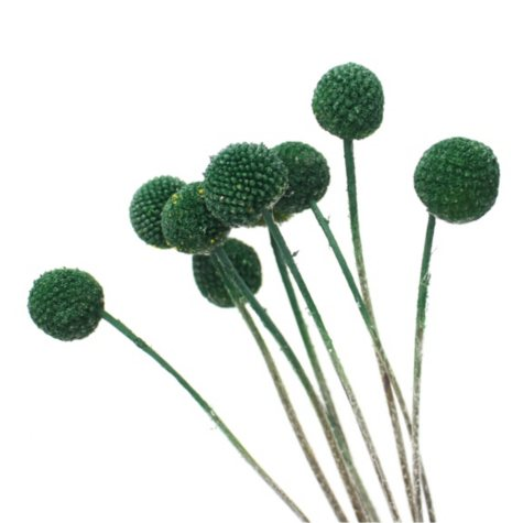 Painted Craspedia, Green (100 stems)
