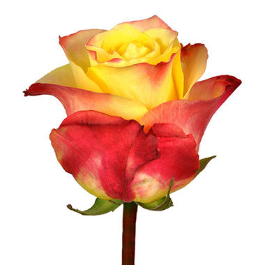 Roses, Hot Merengue (choose 50 or 100 stems)