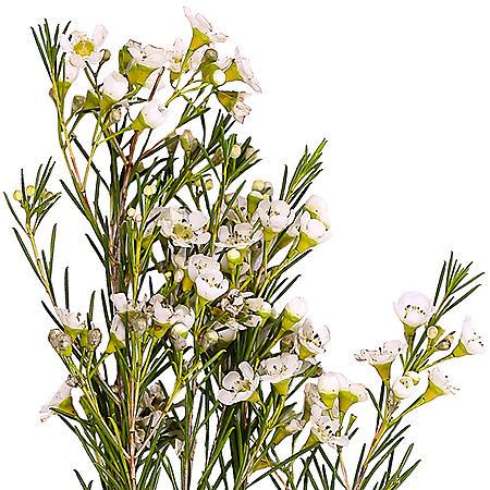 Waxflower, White (200 stems)