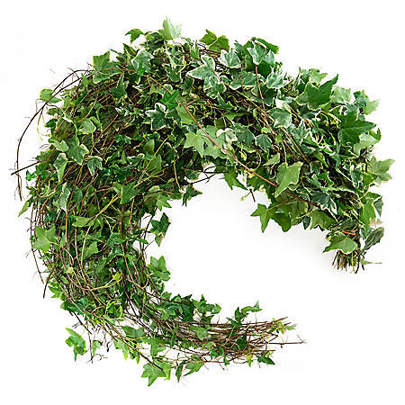 Variegated Ivy (150 Stems)