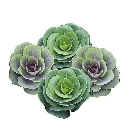 Kale Assorted (50 stems)