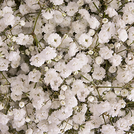 Gypsophila 'Baby's Breath', Xlence (Choose 5, 10, or 13 bunches)