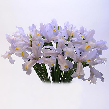 Light Blue Iris (Choose 50 or 90 stems)