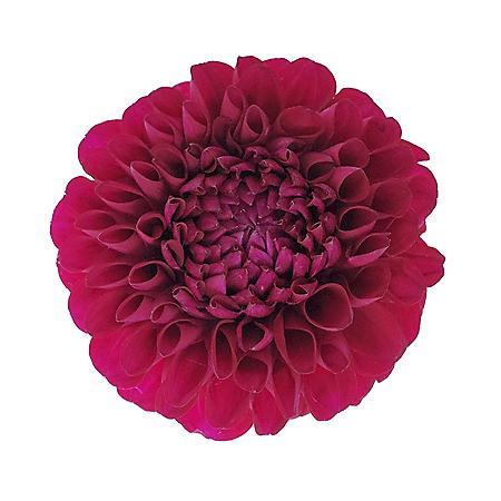 Dahlias, Hot Pink (Choose 20 or 40 stems)