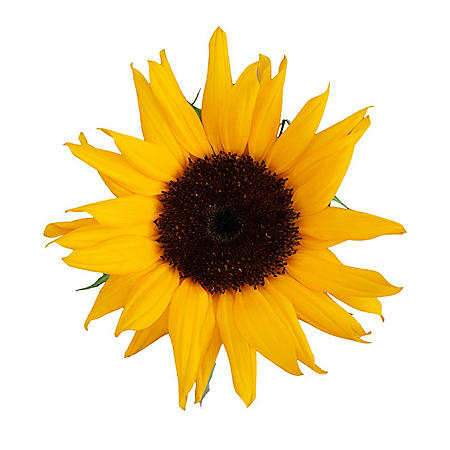 Sunflowers, Brown Centers (Choose 40 or 90 stems)
