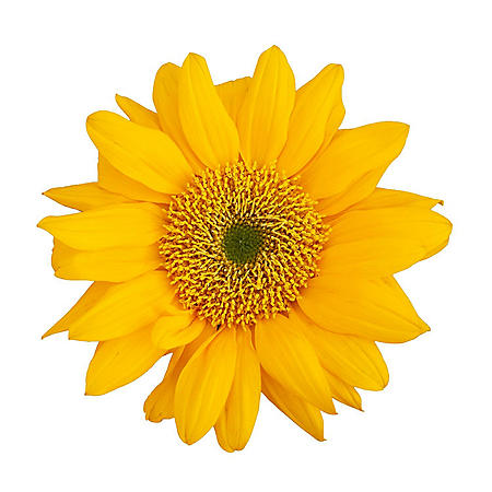 Sunflowers, Yellow Centers (Choose 40 or 90 Stems)