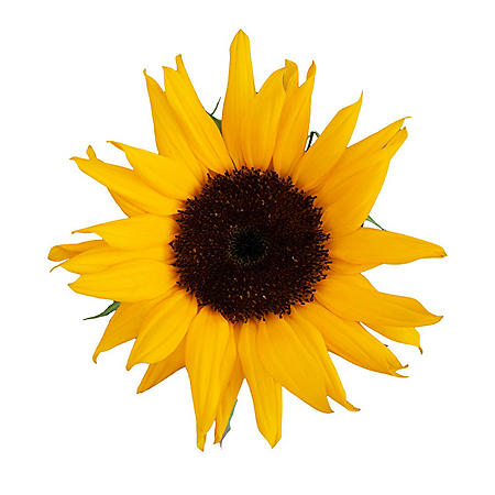Sunflowers, Assorted Brown and Green Centers (Choose 40 or 90 stems)